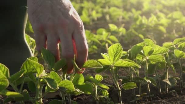 Zodpovědné farmář zkoumání mladých sóji rostliny