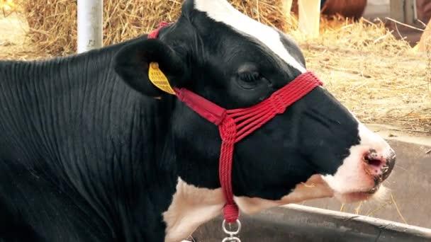 Holstein Friesian kráva krmení