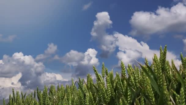 Zelený pšeničné pole s krásné mraky v pozadí