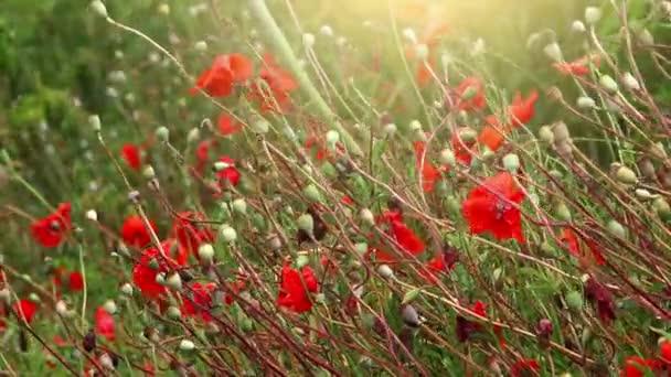 piros pipacs virág mező