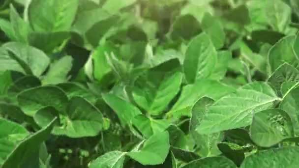 Sóji plodiny pole na větrný den