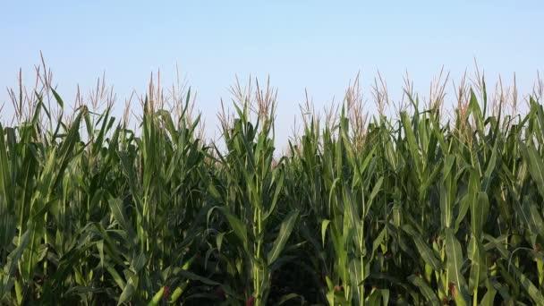 Zelené kukuřice stopky v kultivované kukuřičném poli