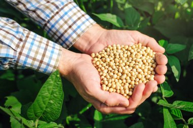 Farmer with handful od soybean in cultivated field