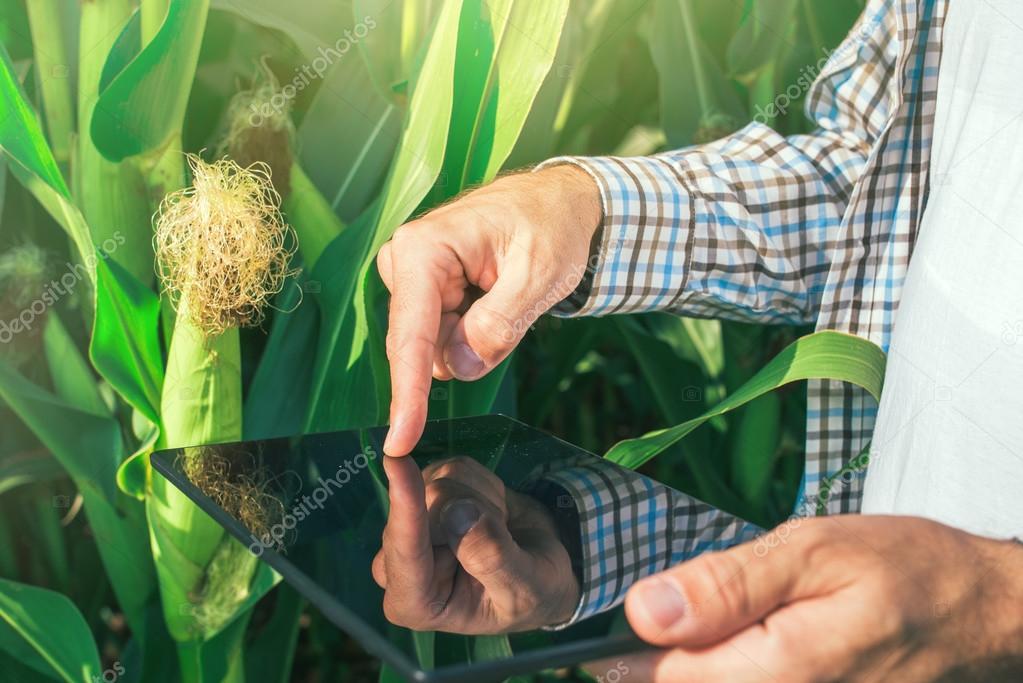 Farmer using digital tablet computer in corn field