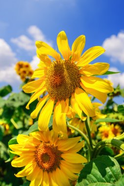 Blooming sunflower heads in cultivated crop field