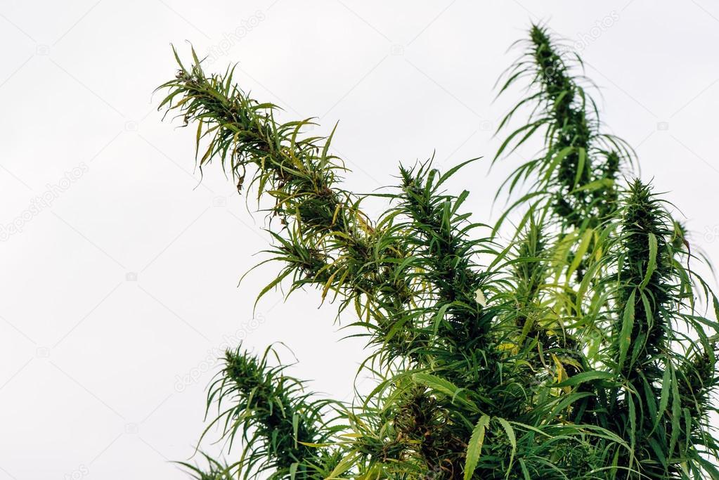 Cultivated hemp in field