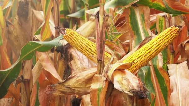 Sklizeň připravena kukuřičné plantáže