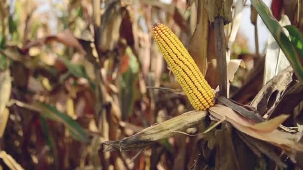 farmář výdeje zralá kukuřice klas v obdělávané zemědělské kukuřičném poli
