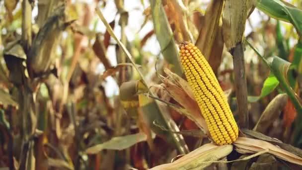 zralá kukuřice klas v obdělávané zemědělské kukuřičném poli připraven na sklizeň výdeje