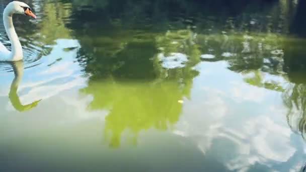 Schwan schwimmt im See