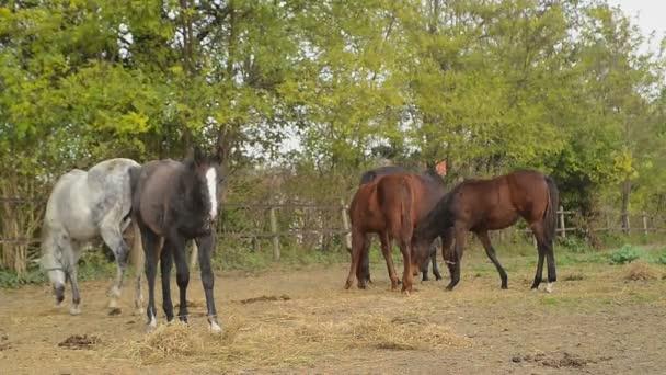 Pasoucí se koně na ranči