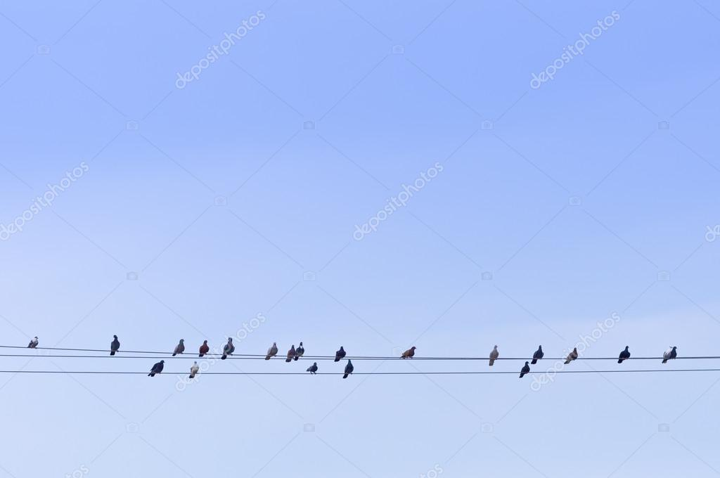 Flock of Pigeons on Power Wires