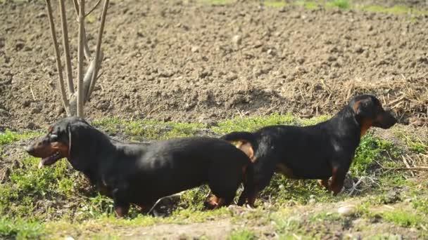 Pár kötött tacskó kutya fedeztetés, állat szex jelenet
