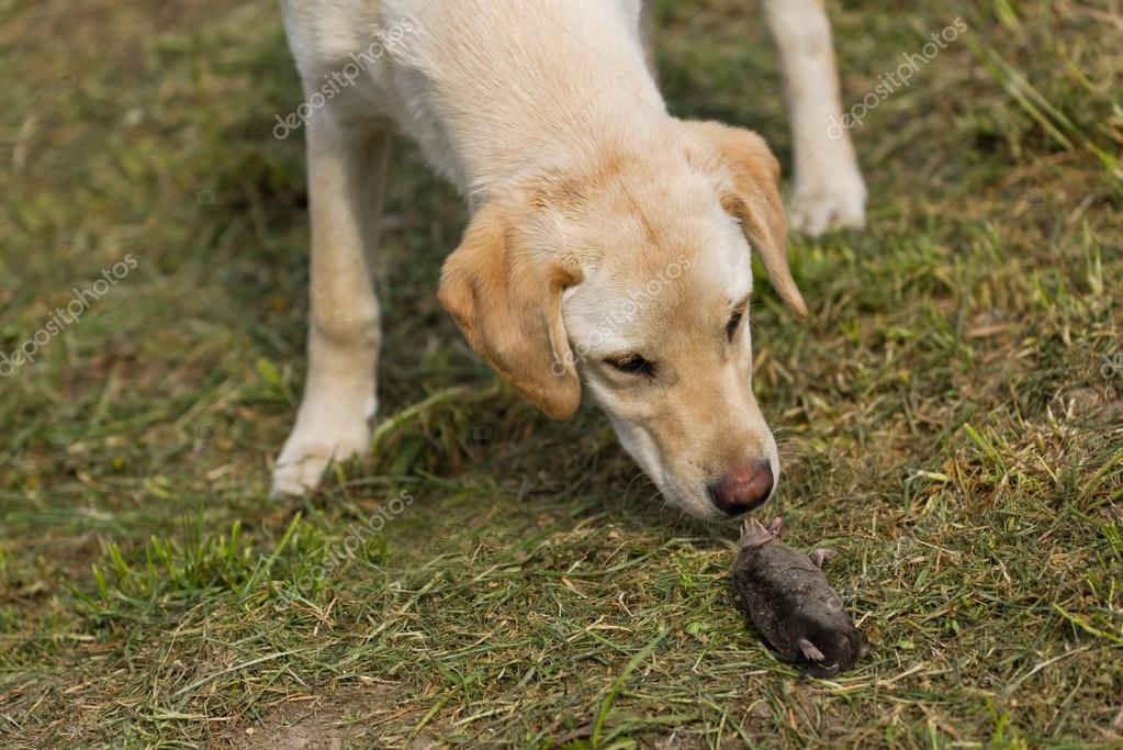 Golden Retriever Labrador Cachorro Olfateando Topo Muerto Foto De