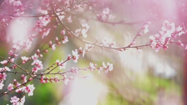 Krásné růžové kvetoucí broskvové květy na zahradě větve stromu v jaro, selektivní zaměření s ruční kamerou