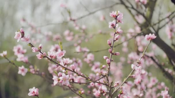 Beautiful Pink Blossoming Peach Flowers on the Garden Tree Branch in The Spring, Selective Focus with Handheld Camera