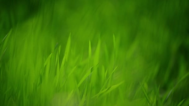 Fresh Green Spring Grass Lawn in Morning Close up, Bright Vibrant Natural Season Background with Shallow Depth of Field