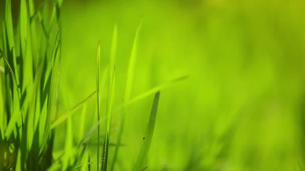 Friss zöld tavasz gyepszőnyegezés reggel közelről, fényes élénk természetes szezon háttér-val sekély mélység-ból mező-ban