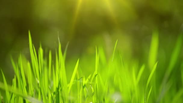 Fresh Green Spring Grass Lawn in Morning Close up, Bright Vibrant Natural Season Background with Shallow Depth of Field, Handheld Stable HD Clip