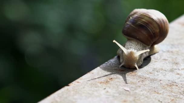Brown Burgundy Roman Snail or Slug Outdoors on a Sunny Morning Light.