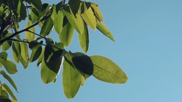 Ořech koruny a větví se zelenými listy s ranní slunce prosvítající
