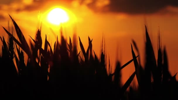 Silueta hlavy pšenice v obdělávané zemědělské oblasti v západu slunce