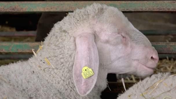 Schafe im Stall auf dem Zuchtbetrieb