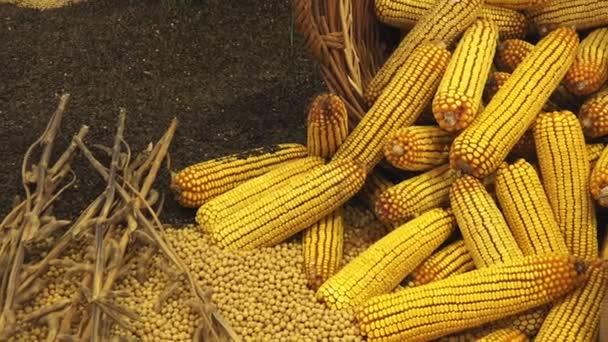 Sklizené kukuřice klasy v proutěném koši