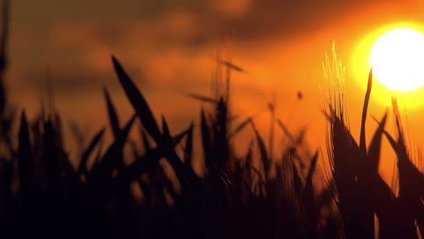 Silueta úrody pšenice v obdělávané zemědělské oblasti v západu slunce