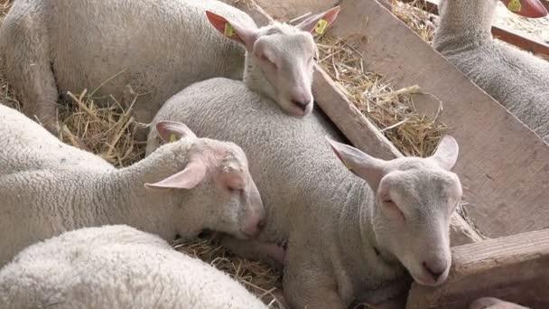 Ovce na chovné farmě