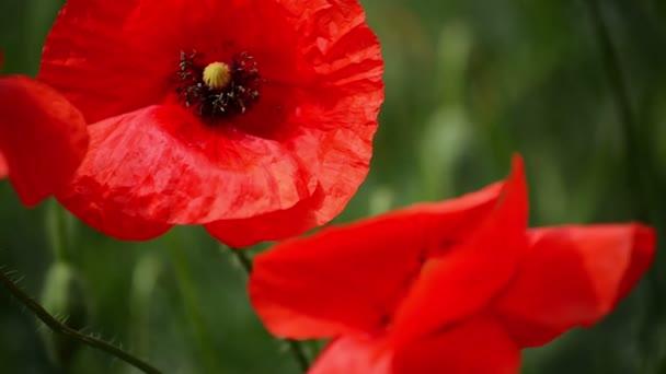 Wild Red Poppy Flower in the Field
