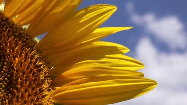 Slunečnice Detail ze zemědělství