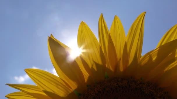 Sluneční paprsky zářící skrze slunečnicové okvětní lístky zemědělské oblasti