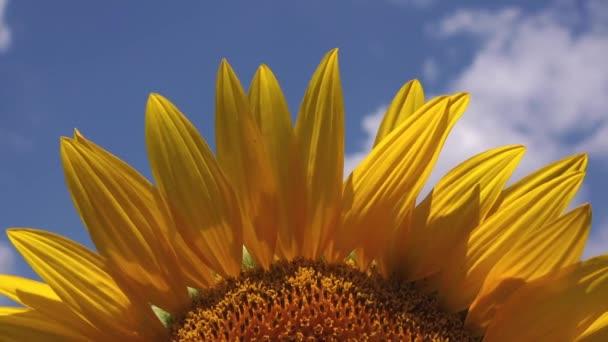 Krásné slunečnice v zemědělské oblasti
