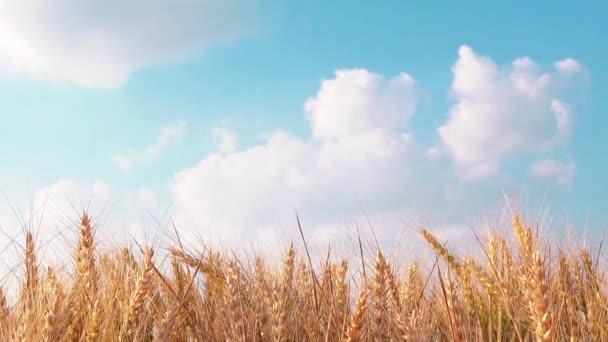 Pšenici plodiny pole