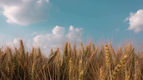 coltivatore a mano nel campo di grano