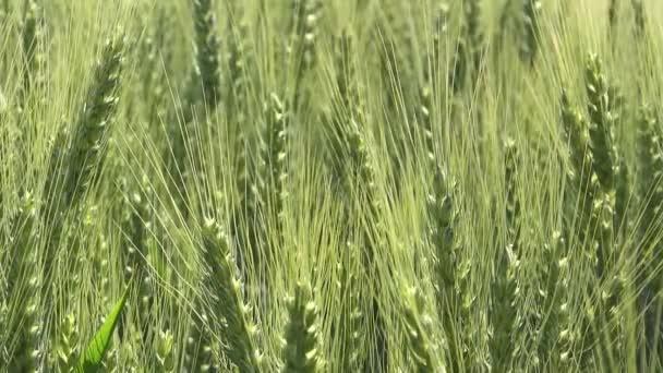 zelené pšeničné pole