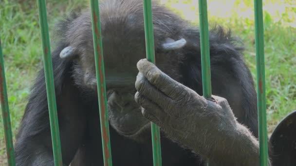 Dospělé šimpanz jíst banán v zoo