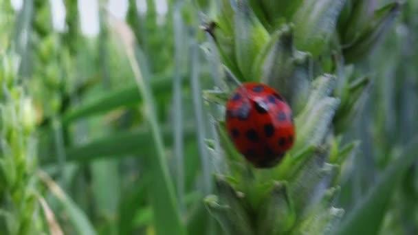 Ladybird beetle on wheat ear in field