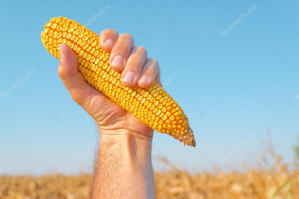 Farmer holding harvested corn cob
