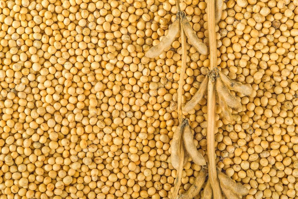 Soybean plant, pods and beans