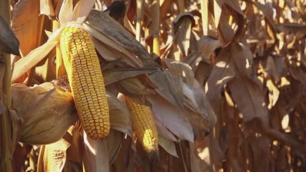 Klasy na stonku v kukuřičném poli