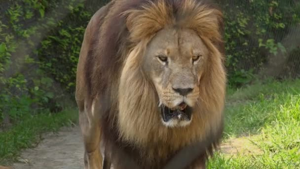African lion behind Zoo fence