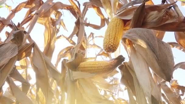 Klas kukuřice na slupky
