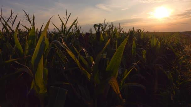 kukuřičné pole v západu slunce
