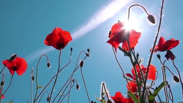 červené květy máku