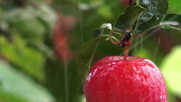 Červené organické jablko v dešti