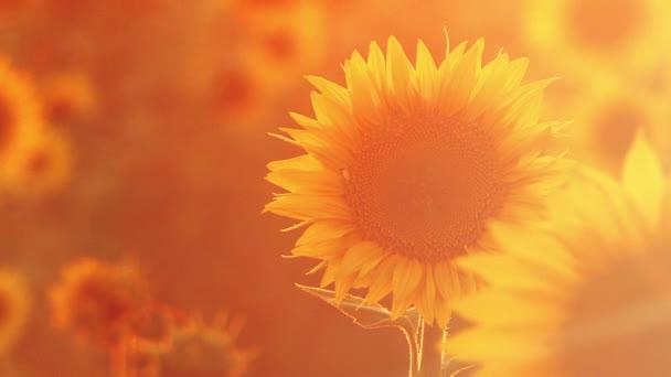 Slunečnicová pole proti zapadajícího slunce