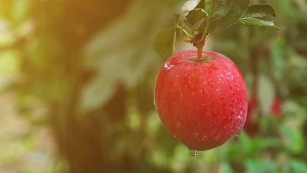 Fresh red apples in organic orchard after rain
