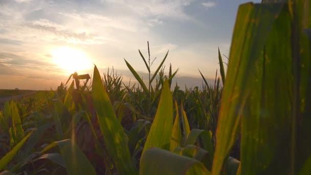 Východ slunce na kultivované kukuřičné pole